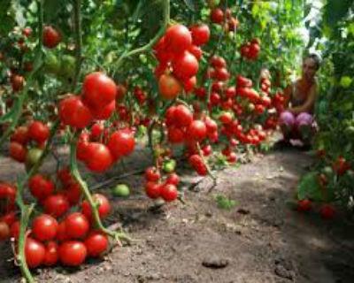 sorta-pomidorov-dlya-teplitsy-iz-polikarbonata1