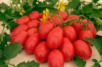 sorta-pomidorov-dlya-teplitsy-iz-polikarbonata4