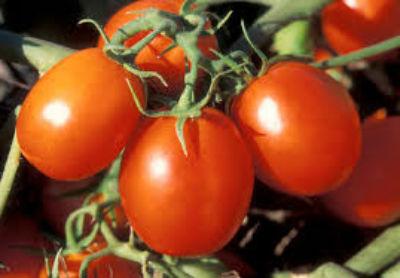 sorta-pomidorov-dlya-teplitsy-iz-polikarbonata6