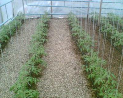 Оптимальная температура для помидор в теплице