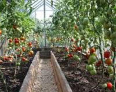 Правильный уход за помидорами после высадки в теплицу