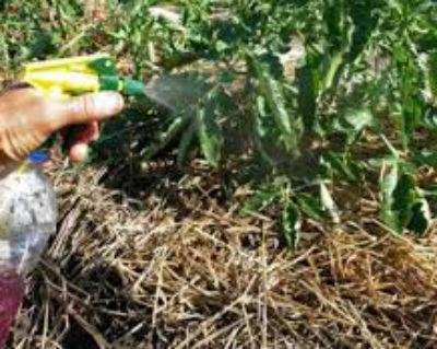 Фитофтора на помидорах в теплице - как бороться с болезнью.