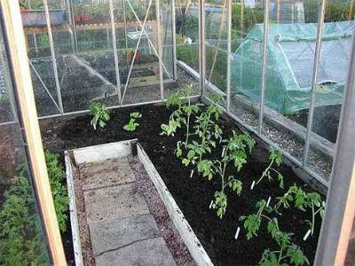 Правильный полив помидоров в теплице - как часто поливать