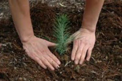 Как посадить сосну на участке,