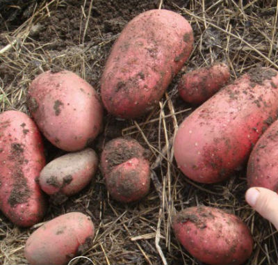 Картофель скарлет - описание сорта и уход.