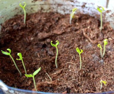 Когда и как сеять баклажаны на рассаду,
