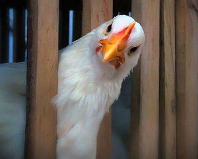 Птичий помёт как удобрение, плюсы и минусы