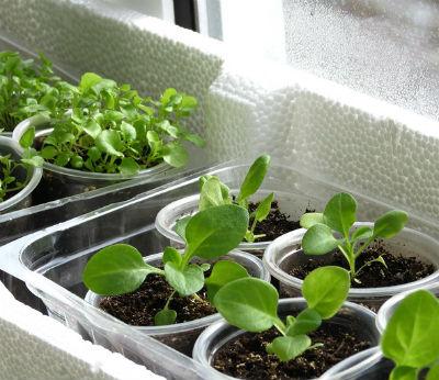 Когда сажать петунию на рассаду, выращивание и уход