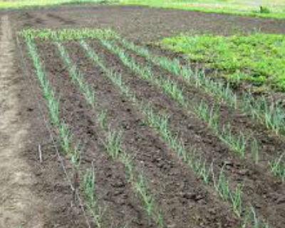 Посадка лука на головку весной в открытом грунте.