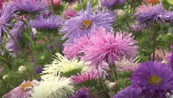 Астры - выращивание из семян в домашних условиях