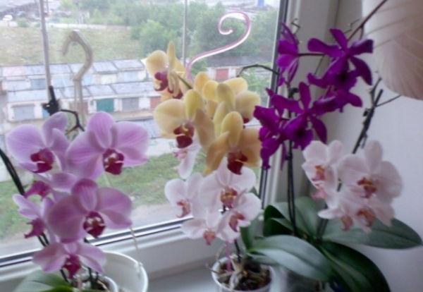 Орхидея фаленопсис - уход в домашних условиях, пересадка