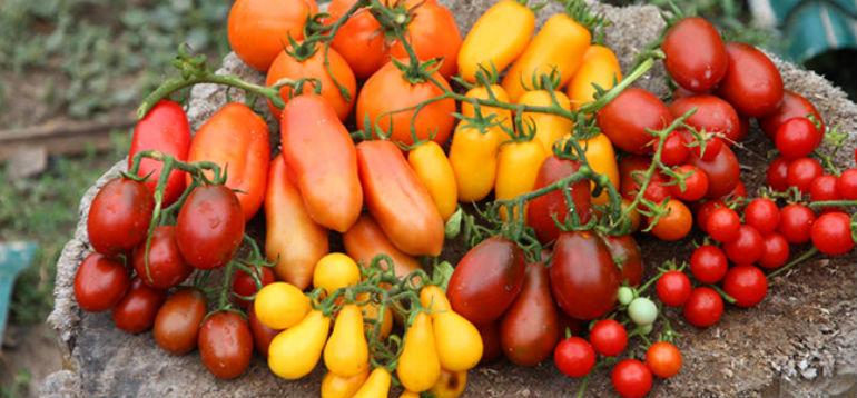 Какие новые сорта томатов сажать в следующем году