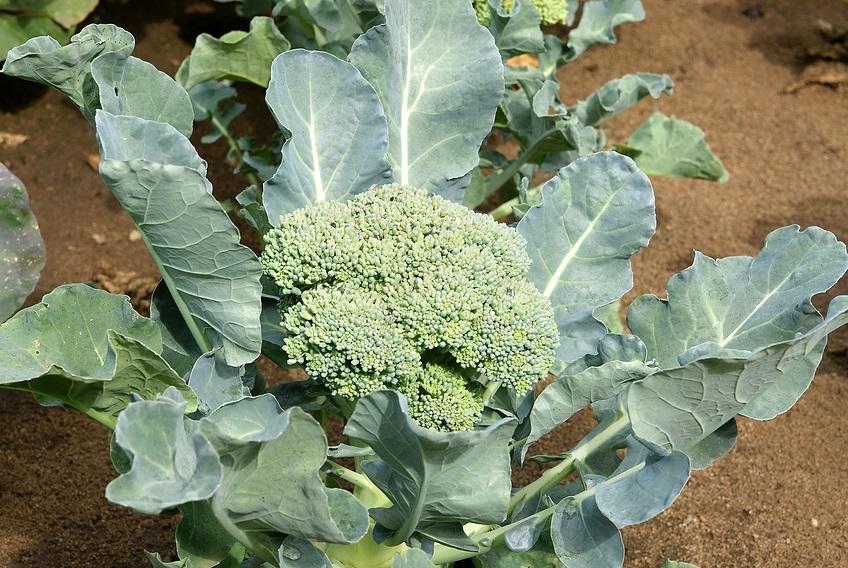 Выращивание рассады брокколи
