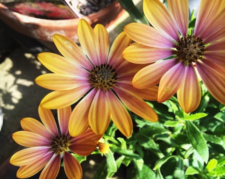 Как выращивать цветы остеоспермума