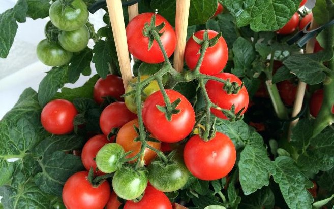 Особенности каждого вида томатов