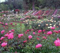 Как вырастить розу из черенка простой способ